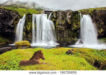 Summer in Iceland. Icelandic horse rested in the tall grass. Cascade falls Kirkjoufellfoss at the mountain Kirkjoufell. Concept of exotic and extreme tourism