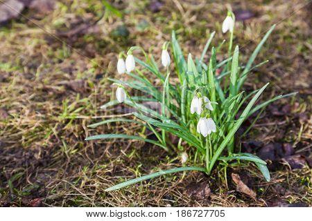 White Snowdrop (galanthus) Flowers On Wet Land