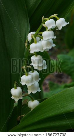 White bell-shaped flowers and green foliage of lily of the valley (convallaria majalis)