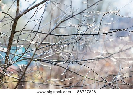 Wet Twigs Of Bare Tree With Raindrops In Garden