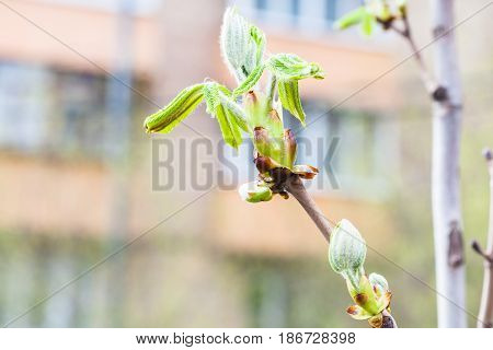 Buds And Young Green Leaves On Horse Chestnut Tree