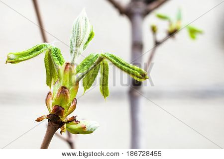 Young Green Leaves Of Conker Tree In Spring