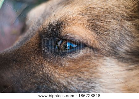 Dog's eye closeup, eye diseases in dogs, a scared mutt