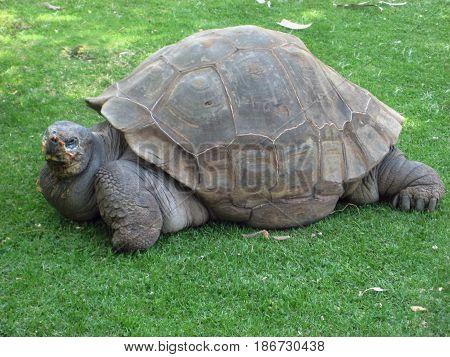 Big Seychelles turtle located in Arequipa, Peru.