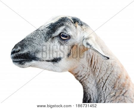Beauriful young sheep isolated on white background. Farm animals. Sheared sheep portrait.