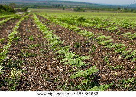 Closeup of plantation farmland of bulgarian countryside
