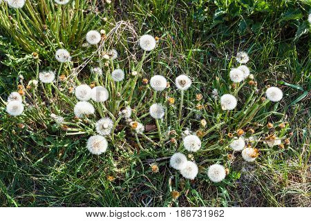 Above View Of Blowball Flowers On Green Meadow