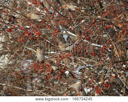 A flock of waxwings on the branches of wild apple trees on background of snow-covered branches