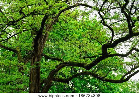 Branchy big old tree in japanese forest, mystery fairytale concept, botanical background