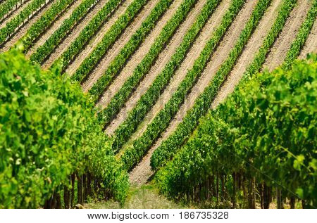 Vineyard rows summer view in Tuscany, Italy.