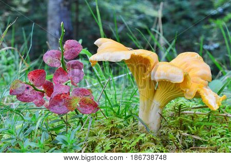 Cantharellus cibarius var.pallidus or Chanterelle in natural habitat among green moss and grass next to blueberry twig with red autumn leaves side view