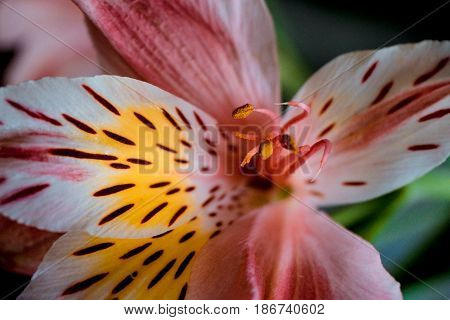 The center of the flower and Stamens pink Alstroemeria flowers with spotted petals