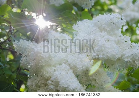 Spring flowering of a fragrant lilac with green leaves in the garden and a ray of sun