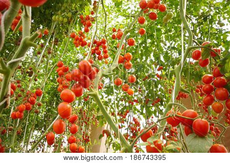 A bunch of red cherry tomato in a greenhouse