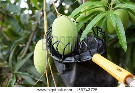 Fruit harvesting equipment especially used for picking mangoes