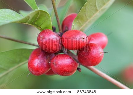 Miracle fruit on the tree; Miracle berry (Synsepalum dulcificum)