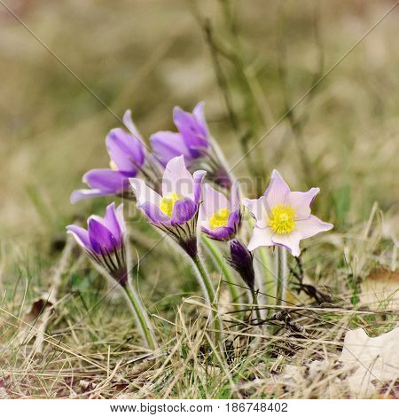 Pasque-flower growing in nature, macro spring floral vintage background