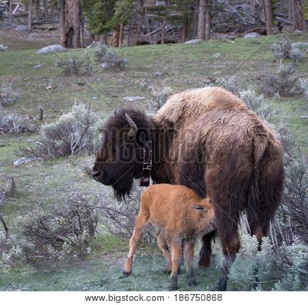 Baby bison calf nursing. Cow buffalo has a collar. They are in a prairie with sagebrush. Photographed in Yellowstone National Park with natural light.