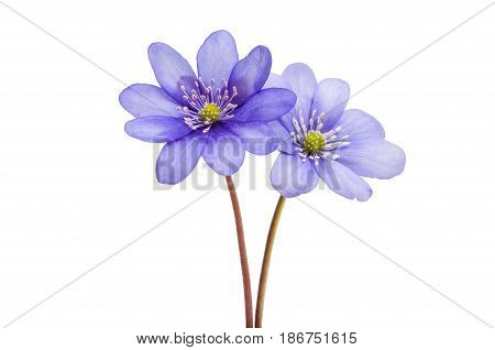 Hepatica Nobilis flower isolated on white background