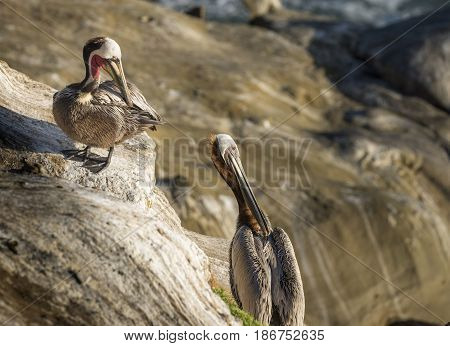 Two Brown Pelicans close up on the cliffs in La Jolla, California, USA