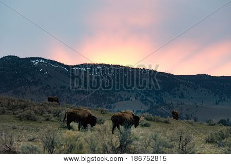 Herd of buffalo on a prairie with mountain and sunrise in the background. Two bison in the foreground are feeding on grass. Photographed in natural light in Yellowstone National Park.