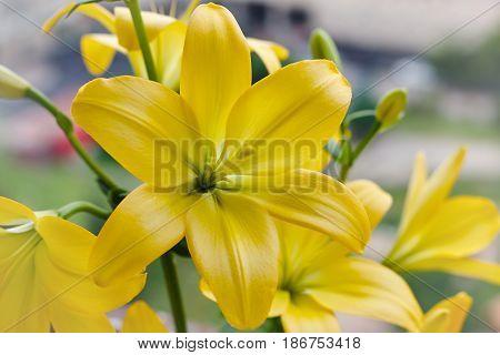 Beautiful bouquet of fresh yellow lilies. Flowers closeup