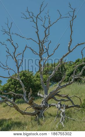 Dead Branches-a dead tree with arm like branches, in tall green grass and a blue sky