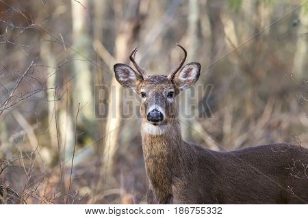 Wary White-tailed Deer scanning woods for threats