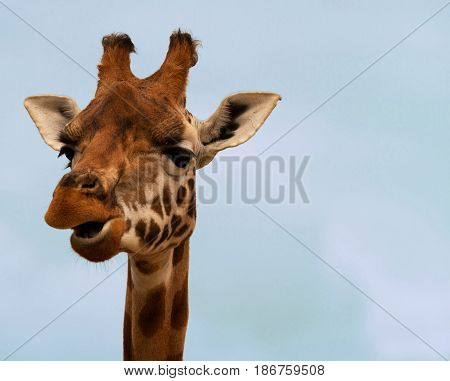 Close-up of a gorgeous giraffe's face with a blue background and space for text. Giraffe is chewing.