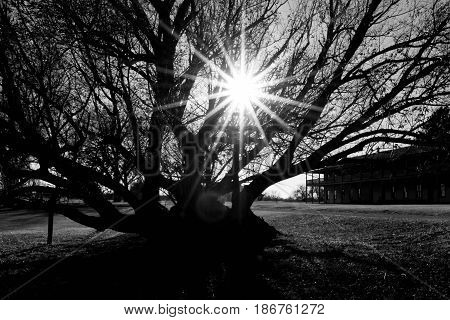 Sun flare shining through old tree in black and white