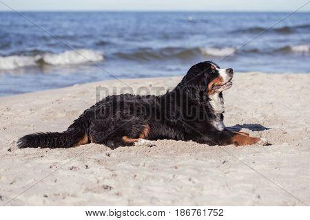 bernese mountain dog lying at sunny sea beach