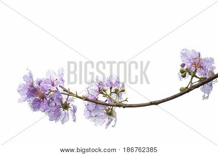 purple flower (Lagerstroemia) isolated on white background