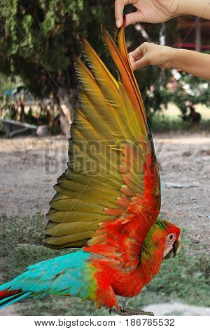 Country view of lovely red and blue macaw parrot age three months Hand wings of bird raised to show the colorful wings of the inside .