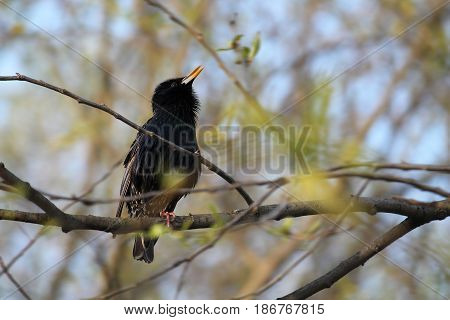 Starling sings the song, sitting on the branches. Springtime