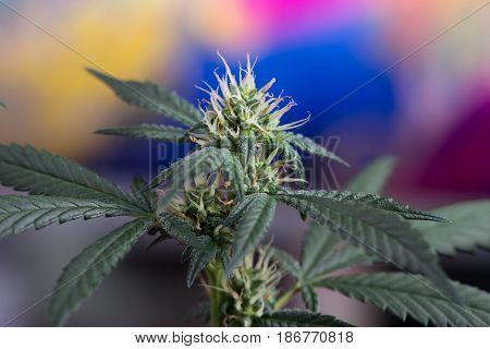 Macro of female marijuana cannabis flower in early stage