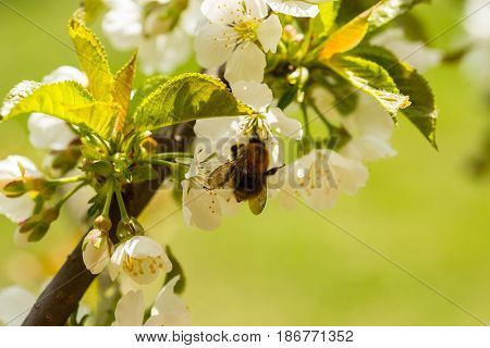 Bumble-bee pollinate cherry flower in sunny day spring