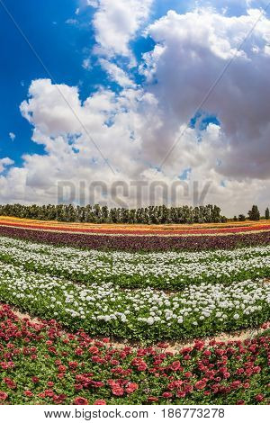 Magnificent flowering garden buttercups. Spring in Israel. Photo taken fisheye lens. The concept of modern agriculture and industrial floriculture