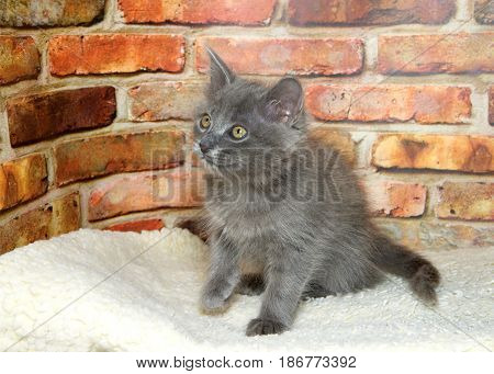 One fluffy gray kitten sitting up looking to viewers left paw going up. Brick wall backgroundl