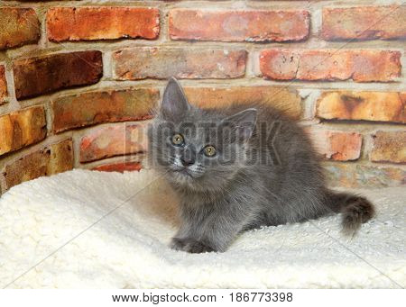 One fluffy gray kitten crouched down on a sheepskin blanket looking up at viewer brick wall background