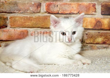 One small fluffy white kitten laying on on fluffy sheepskin looking to viewers right brick wall background.