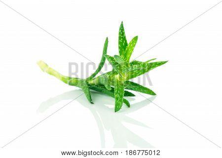 Photo of Aloe plant on white background