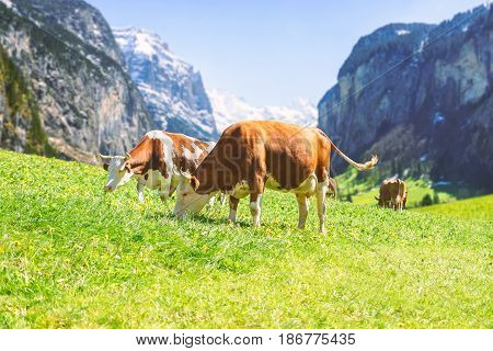 Swiss cow in an alpine meadow with the background of the mountain in Swiss Alps.