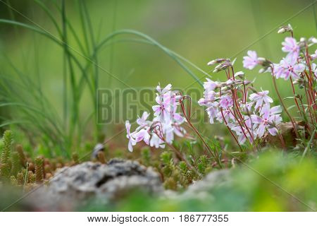 Close up shot of tiny annual Phlox flowers