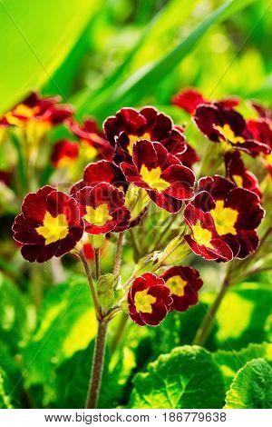Garden flower of a burgundy color primrose during flowering