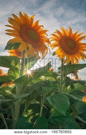 Sunflowers happily basking under the California sun