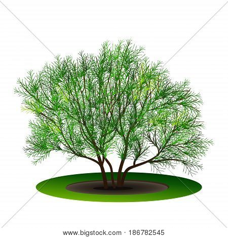 bush tamarix with green leaves and shadow on white background