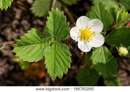 клубника цветет весной, цветок клубники крупным планом