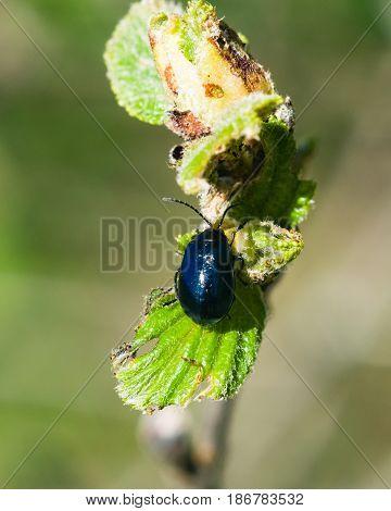 Alder leaf beetle or Agelastica alni on Black alder Alnus glutinosa macro selective focus shallow DOF.