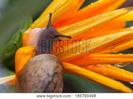 Snail on yellow flower after rain close-up. Macrophotography.