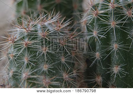 Background of small round green cactus close-up with long light needles